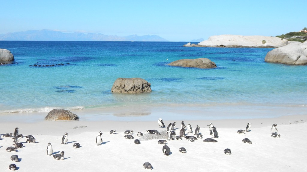 The penguins of Boulders Bay