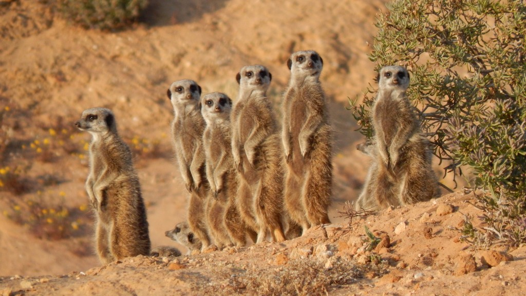 Meerkats come to see what all the fuss is about