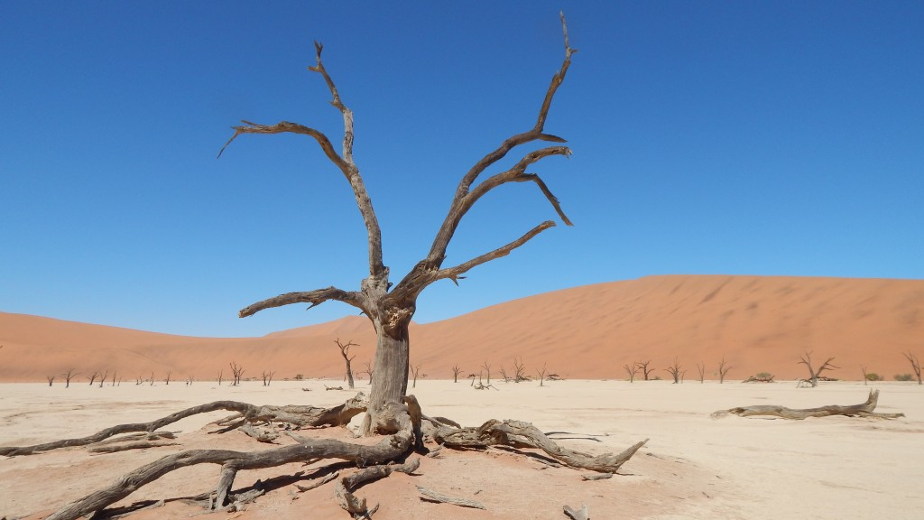 A 900 year old camel thorn tree in Deadvlei