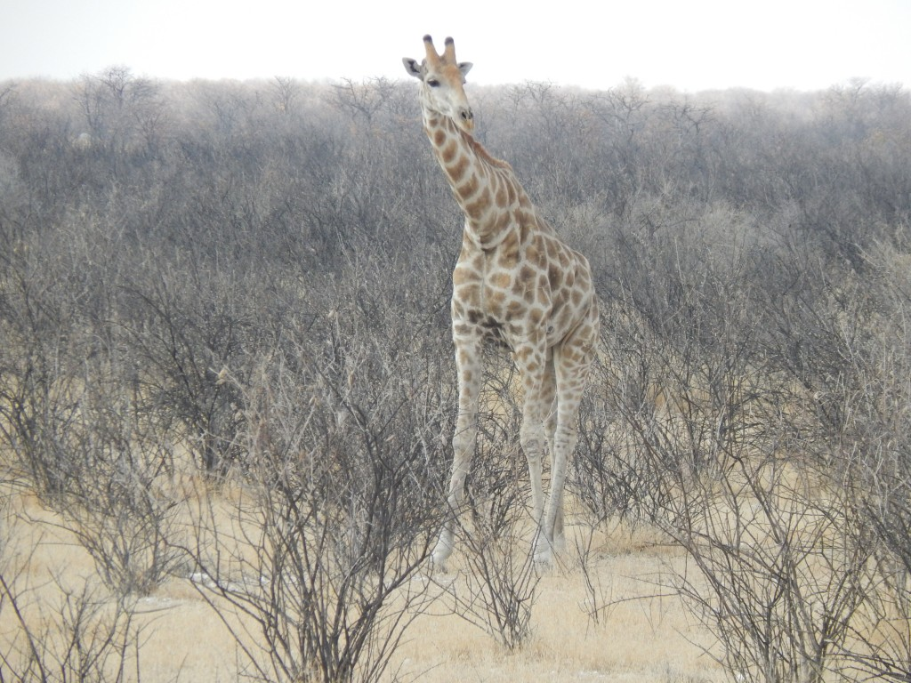 A giraffe on the side of the road in Etosha