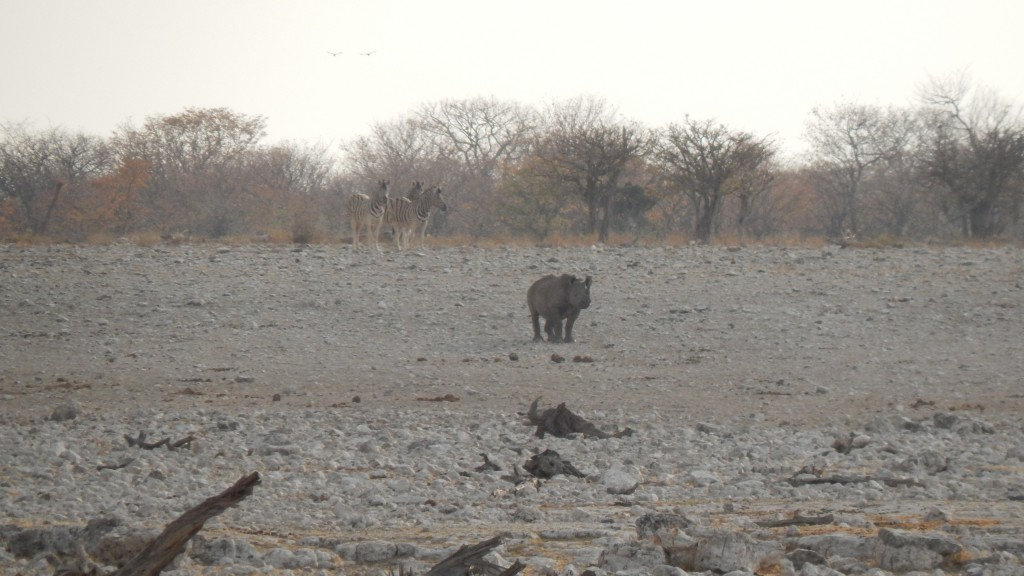 A rhino waits in the distance