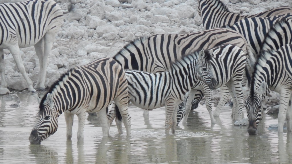 A baby zebra wades into the waterhole