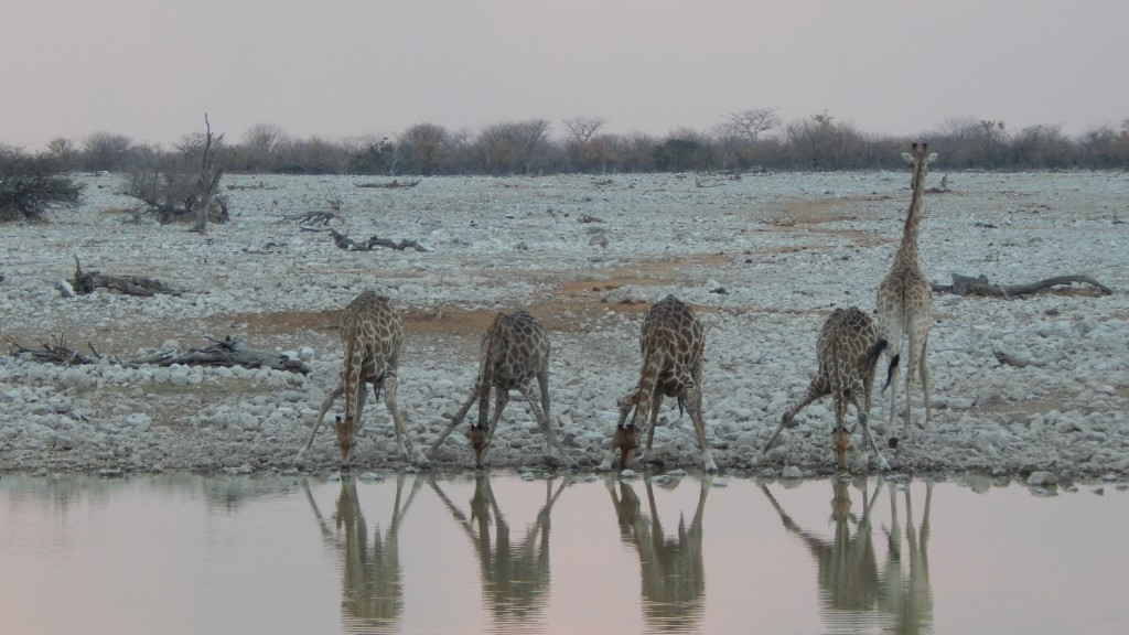 Giraffes take a drink