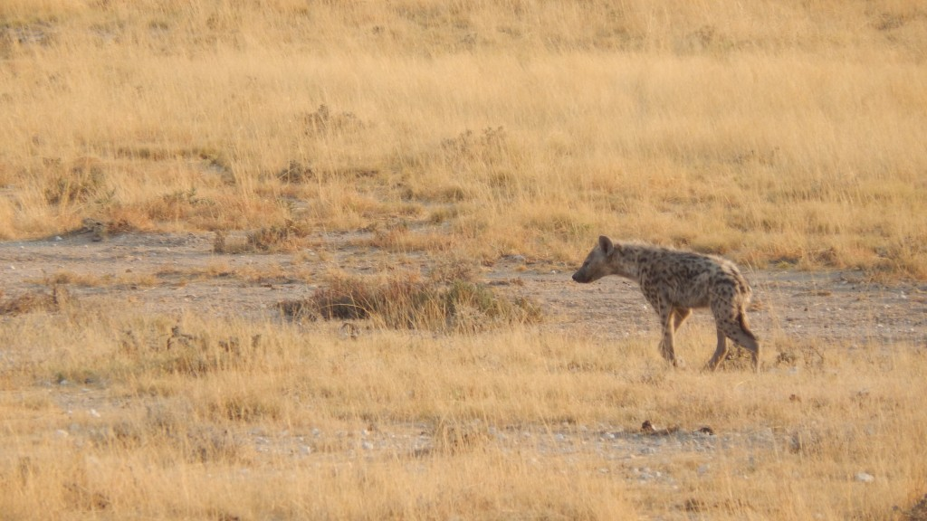 A hyena stalks its prey