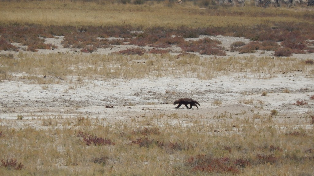 A honey badger dashes across the plain