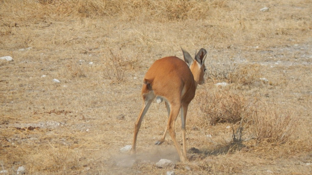 A steenbok covering up his poop