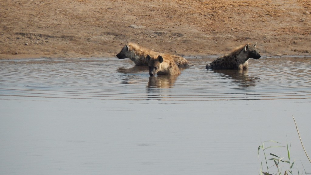 Swimming hyenas