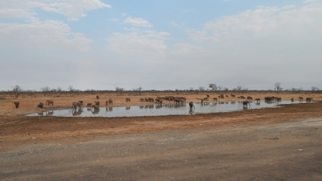 Elephants gather at on waterhole on the side of the road.