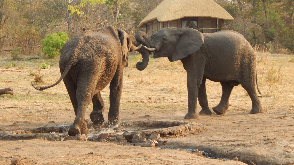 To elephants fight for prime positioning