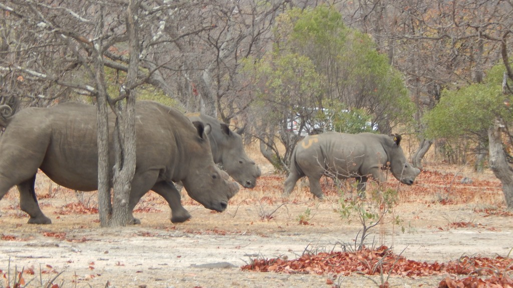 The rhinos walking off and away from us