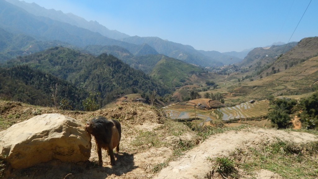 A piglet scratches himself  on a rock, the mountains of Sapa behind him